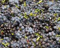 Red Wine Grape Clusters. Gathered for harvest crush. Sonoma County, California, USA royalty free stock image