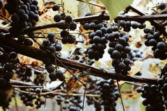 Red-wine grape growing in autumn vineyard. Brunches of red wine grapes with its yellowed leaves growing in autumn vineyard somewhere in countryside. Cozy photo Royalty Free Stock Photo