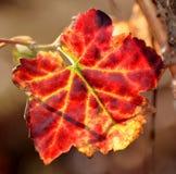 Red Wine grape leaf... Stock Image