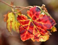 Red Wine grape leaf... Stock Photo