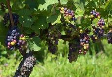 Red wine grape Stock Photos