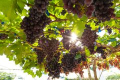 Red wine grape on tree branch Royalty Free Stock Photo