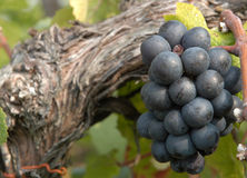 Red wine grapes. Growing on the vine Stock Photos