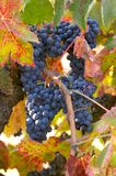 Red Wine Grapes Royalty Free Stock Photos