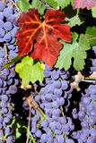 Red Wine Grapes Stock Images