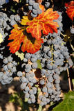 Red Wine Grapes Stock Photography