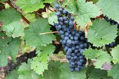 Red wine grapes along the river Moselle (Mosel), Rhineland-Palatinate, Germany. Stock Photos