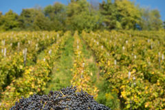 Red wine grapes in autumn Royalty Free Stock Photography