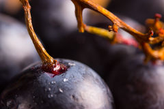 Red wine grapes Royalty Free Stock Images