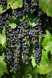 Red Wine Grapes Royalty Free Stock Photo