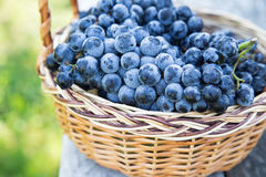 Red wine grapes. dark grapes, blue grapes, wine grapes in a bask Stock Images