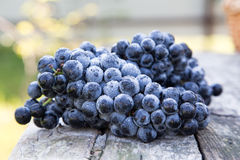 Red wine grapes. dark grapes, blue grapes, wine grapes in a bask Royalty Free Stock Images
