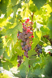 Red wine grapes on grape vine Stock Photo