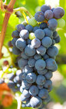 Red wine grapes on grapevine Stock Photos