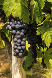 Red wine grapes growing in the countryside Royalty Free Stock Photography