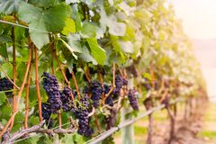 Red wine grapes growing on rows of vines. royalty free stock photo