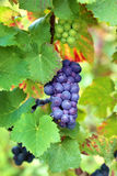 Red wine grapes growing in a vineyard, France Stock Photography