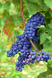 Red wine grapes growing in a vineyard, France Stock Photos