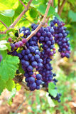 Red wine grapes growing in a vineyard, France Royalty Free Stock Photo