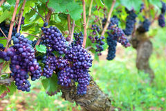 Red wine grapes growing in a vineyard, France Stock Photo