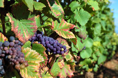 Red wine grapes growing in a vineyard, France Stock Image