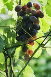 Red wine grapes. Hang from an old vine Royalty Free Stock Photo