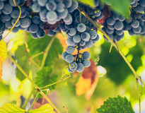 Red wine grapes. Hang from an old vine Stock Image