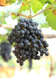 Red wine grapes hanging Royalty Free Stock Images