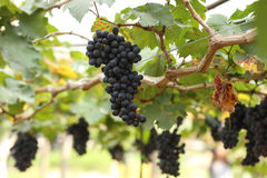Red wine grapes hanging Royalty Free Stock Image
