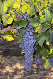 Red Wine Grapes at Harvest Royalty Free Stock Photography