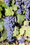 Red Wine Grapes at Harvest Royalty Free Stock Photos
