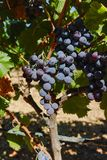 Wine red grape, ripe on the vines and ready to harvest and wine Stock Photo