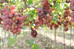 Red wine grapes on old vine. Red grapes harvest in vineyard Stock Photography