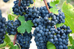 Red wine grapes on old vine, Tuscan Royalty Free Stock Photo