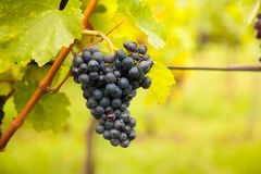 Red Wine Grapes On Vineyard Stock Photo