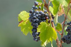 Red wine grapes plant, new harvest of black wine grape in sunny. Red wine grapes plant, new harvest of black wine grape close up stock photography