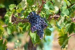 Red wine grapes plant, new harvest of black wine grape in sunny day. Red wine grapes plant, new harvest of black wine grape close up stock photo