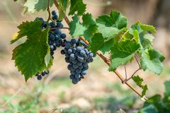 Red wine grapes plant, new harvest of black wine grape in sunny. Red wine grapes plant, new harvest of black wine grape close up royalty free stock images
