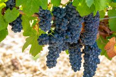 Red wine grapes plant, new harvest of black wine grape in sunny. Red wine grapes plant, new harvest of black wine grape close up stock photo