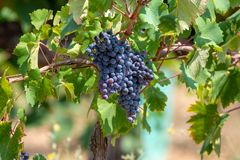 Red wine grapes plant, new harvest of black wine grape in sunny day. Red wine grapes plant, new harvest of black wine grape close up royalty free stock photography