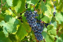 Red wine grapes plant, new harvest of black wine grape in sunny day. Red wine grapes plant, new harvest of black wine grape close up stock photography
