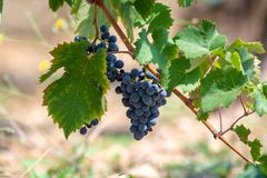 Red wine grapes plant, new harvest of black wine grape in sunny day. Red wine grapes plant, new harvest of black wine grape close up stock image