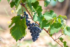 Red wine grapes plant, new harvest of black wine grape in sunny day. Red wine grapes plant, new harvest of black wine grape close up stock images