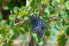 Red wine grapes plant, new harvest of black wine grape in sunny. Red wine grapes plant, new harvest of black wine grape close up stock image