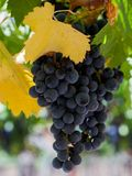 Red wine grapes ready for harvest Royalty Free Stock Image
