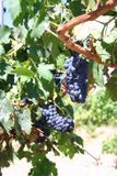Red wine grapes. Grapes ready to be harvested hang from the vine Royalty Free Stock Image