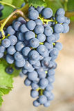 Red Wine Grapes Ripening on the Vine Stock Photo
