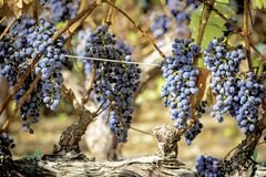 Red wine grapes ripening on the vine Stock Image