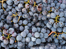 Red wine grapes from rustic organic production. Not all perfect Stock Photo