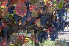 Red Wine Grapes on Vine Royalty Free Stock Photos